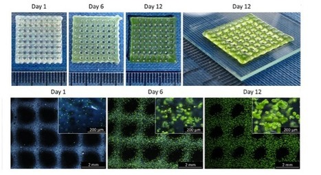 3D Printed Algae Provides Oxygen Source for Growing Bioprinted Human Cells | tecnologia s sustentabilidade | Scoop.it