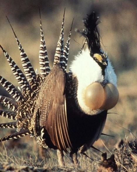 L'oiseau qui se met en travers du gaz de schiste aux Etats-Unis   Chronique d'un pays où il ne se passe rien... ou presque !   Scoop.it