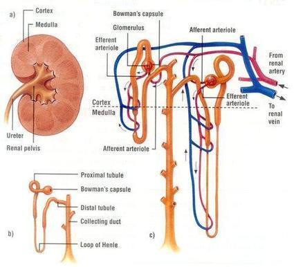 Twitter / IlindelatorreMD: Sistema Renal/Urinar...