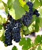 P.S. (Petite Sirah) I Love You: The Best Red Wine For Valentine's Day | A Wine for Valentine's Day... | Scoop.it