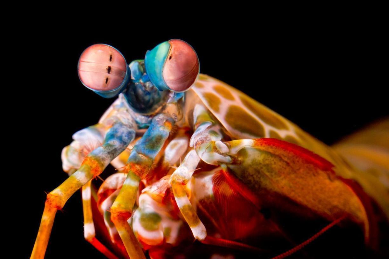 Las gambas mantis rotan sus ojos para ver mejor...