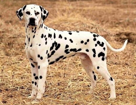 Best Suited Dog Breeds For Indian Climate Pet