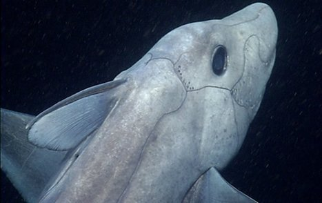 Mysterious 'Ghost Shark' caught on film by MBARI for the first time | ScubaObsessed | Scoop.it
