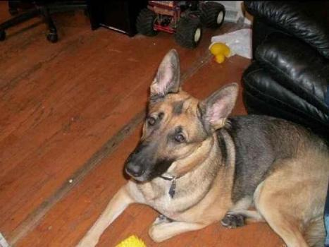 Funds Raised for German Shepherd Stabbed in Buffalo Grove Home Invasion. Protecting The Family Pet! | Home Invasion Prevention Tips | Jordan Frankel | Scoop.it