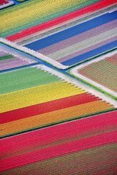A Vibrant Tulip Field in the Netherlands: Our Most Repinned Item of the Week | FCHS AP HUMAN GEOGRAPHY | Scoop.it