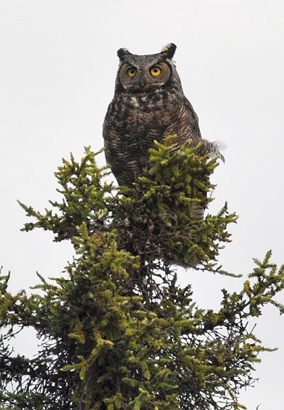 Attack of the great horned owl | NWT News | Scoop.it