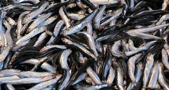 Turkey exports 177 tons of anchovy to 11 countries - Daily Sabah