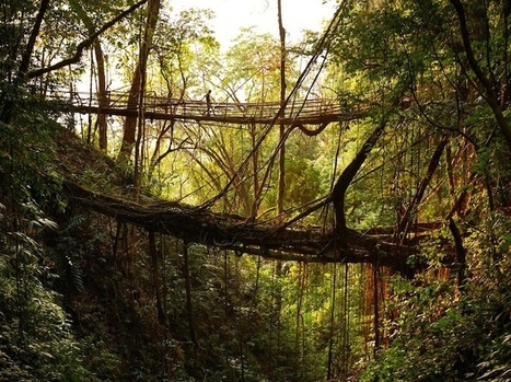 India's Fascinating Tree Root Bridges Grow Stronger Every Year   Gaia Diary   Scoop.it
