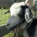 A goat use a mobile phone | 2 dogs are very happy | Scoop.it