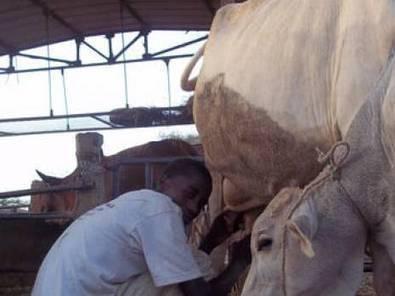 Ces zébus qui font vivre la banlieue de Niamey - El Watan | Agribusiness | Scoop.it