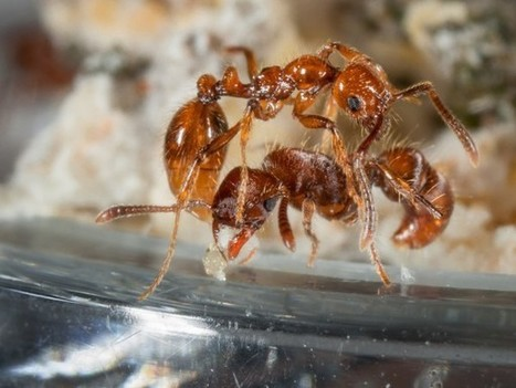 Enemies With Benefits: How Parasitic Ants Protect Their Hosts | Complex World | Scoop.it