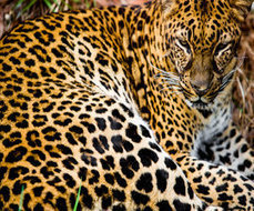 Wildlife advocates aim to increase conservation measures and protect African leopards from American trophy hunters | Trophy Hunting: It's Impact on Wildlife and People | Scoop.it