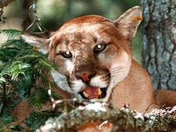 Arizona scientists offer tips for mountain lion encounters | KTAR (Radio-Phoenix) | CALS in the News | Scoop.it