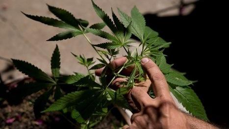 Se busca experto en marihuana: razón en el gobierno de Washington - RT en Español - Noticias internacionales | thc barcelona | Scoop.it