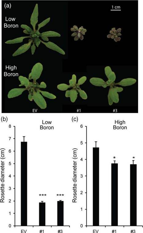 Suppression of Arabidopsis GGLT1 affects growth