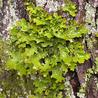 Population genetics of lichen symbiosis