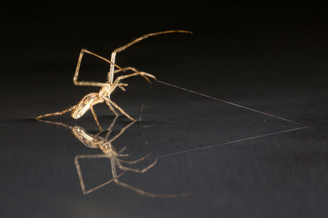 Ocean-going spiders can use their legs to windsurf across water   Science&Nature   Scoop.it