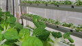 Urban farming looking up in Singapore | Vertical Farm - Food Factory | Scoop.it