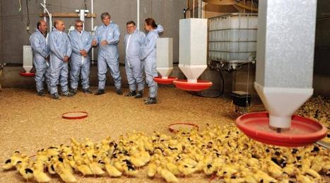 Grippe aviaire : canards et oies de retour dans les élevages du Sud-Ouest - Ouest France | Agriculture en Pays de la Loire | Scoop.it
