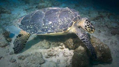 Maurice: démantèlement d'un trafic de tortues de mer | Biodiversité, Herpétologie, Ichtyologie, Entomologie... | Scoop.it