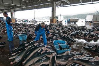 Shark Defenders: This Is Sustainable Shark Fishing? | PlanetNews | Scoop.it