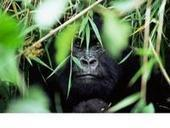 Naissance de 4 gorilles de montagne aux Virunga | Virunga - WWF | Scoop.it