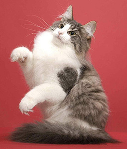 Norwegian Forest Cat breeds info, Temperament, kitten names, Price | Cats Rule the World | Scoop.it