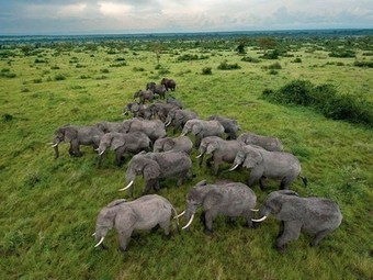 A World Without Elephants - Unbearable - Poaching to Extinction | Biodiversity IS Life  – #Conservation #Ecosystems #Wildlife #Rivers #Forests #Environment | Scoop.it