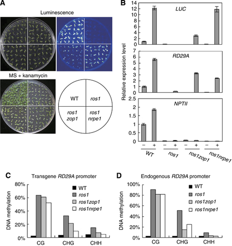 The splicing machinery promotes RNA-directed DNA methylation and transcriptional silencing in Arabidopsis | Plant genetics | Scoop.it
