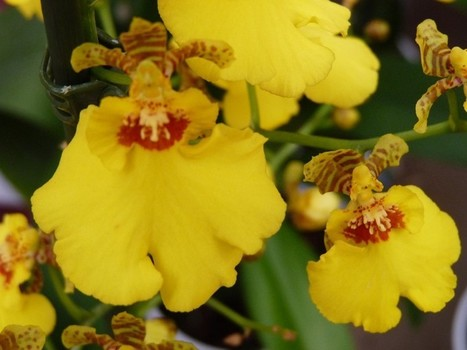 Photos d'orchidées : Oncidium horticoles divers - Oncidium non déterminé - Oncidium sp. | Faaxaal Forum Photos gratuite Faune et Flore | Scoop.it
