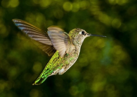 School Of Digital Photography: How to Photograph Birds in Flight Using Manual Focus Lenses | Great Photographs | Scoop.it