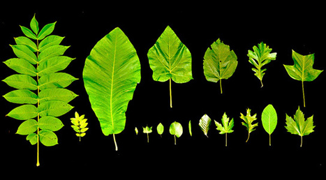 Leaf Growth & Tree Height Limited By Physics | Science Communication from mdashf | Scoop.it