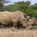 South Africa sics drones on rhino poachers in the Kruger | Rhino poaching | Scoop.it