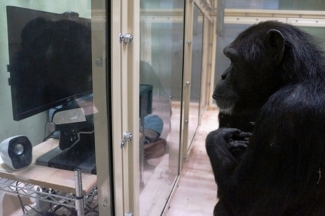 Chimps May Be Capable of Comprehending the Minds of Others | cognition | Scoop.it