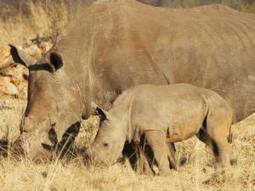 Ten ways to save the rhino - Independent Online | Kruger & African Wildlife | Scoop.it