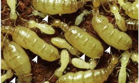 Une explication à la longévité des reines de termites en dépit d'une fertilité très élevée | EntomoNews | Scoop.it