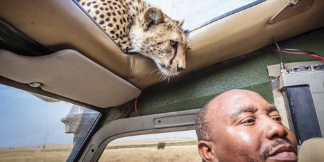 PHOTOS: This Cheetah Knows How To Make A Dramatic Entry   Xposed   Scoop.it
