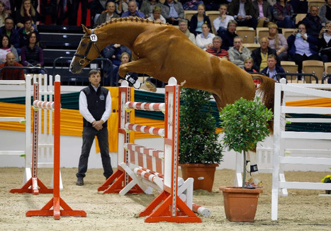 16 Trakehner Stallions Approved in Germany; American-bred Davidas Earns Premium Approval and Best Jumping Stallion Status | Fran Jurga: Equestrian Sport News | Scoop.it