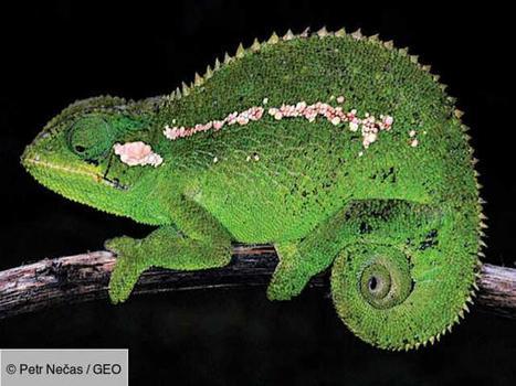 Une nouvelle espèce de caméléon découverte dans les montagnes d'Ethiopie | Histoires Naturelles | Scoop.it