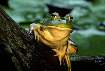Bracing for a Bullfrog Invasion | AJC's Frogroom | Scoop.it