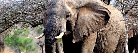 3 Things People In The USA Can Do To Stop Wildlife Trafficking | Wildlife Trafficking: Who Does it? Allows it? | Scoop.it