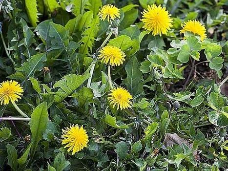Cuisiner les mauvaises herbes | jardins et développement durable | Scoop.it