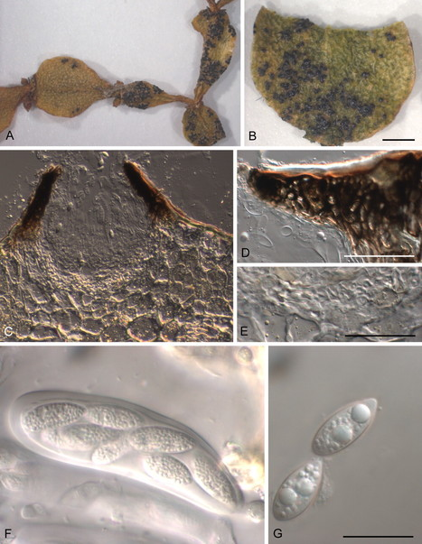 Studies in Mycology: Two new pathogenic ascomycetes in Guignardia and Rosenscheldiella on New Zealand's pygmy mistletoes (Korthalsella: Viscaceae) | fungi bacteria publications | Scoop.it