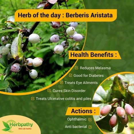 Bitter Leaf Herb Uses, Benefits, Cures, Side Ef