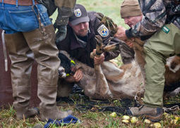 Relocated deer struggling to adapt at wildlife refuge - Longview Daily News | Corinne | Scoop.it
