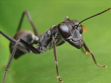 New study: With Ant Colonies, Larger is Better | All About Ants | Scoop.it