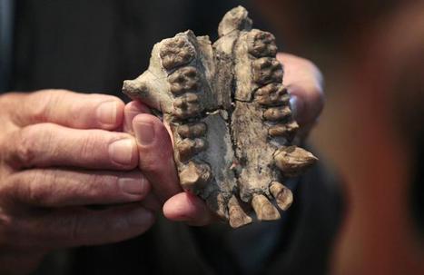 Le MHNH présente le crâne d'un grand singe, vieux de 19 à 20 millions d'années | Merveilles - Marvels | Scoop.it