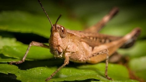 "Can cyborg locusts be used as tiny, biorobotic ""sniffer dogs""? 