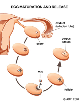 Gcse bitesize asexual reproduction