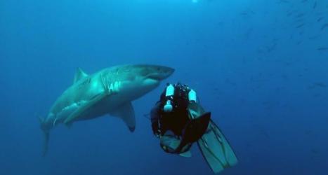 Vidéo plongée HD | Mexique, île de Guadalupe - Plongée sans cage avec le Grand requin blanc ! | Plongeurs.TV | Scoop.it